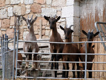 Allineamento curioso delle capre al recinto Fotografia Stock