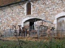 Allineamento curioso delle capre al recinto Immagini Stock