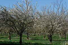 Allineamento degli alberi da frutto Immagini Stock Libere da Diritti