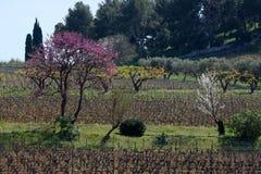Allineamento degli alberi da frutto e della vigna Fotografia Stock Libera da Diritti