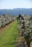 Allineamento degli alberi da frutto e della vigna Fotografie Stock Libere da Diritti