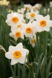 Allineamento dei narcisi in un giardino nella primavera Immagine Stock