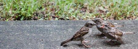 Allineamento dei passeri da mangiare Fotografie Stock