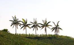 Allineamento del cocco Immagine Stock Libera da Diritti