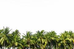 Allineamento del cocco Immagine Stock