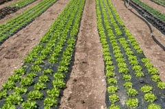 Allineamento dell'insalata in un campo Fotografie Stock Libere da Diritti