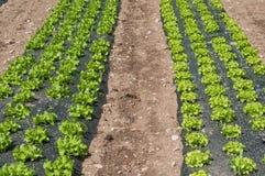 Allineamento dell'insalata in un campo Immagini Stock Libere da Diritti