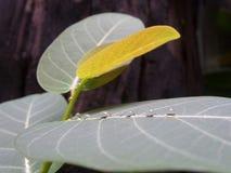 Allineamento delle gocce di acqua su midlib della foglia verde Fotografia Stock Libera da Diritti