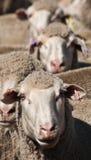 Allineamento delle pecore Fotografia Stock