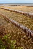 Allineato della protezione di bambù nella foresta della mangrovia Immagini Stock Libere da Diritti