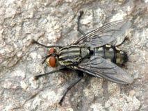 Allini la mosca Fotografie Stock Libere da Diritti