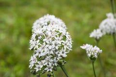 Allium άσπρα λουλούδια στον κήπο, εκλεκτική εστίαση Στοκ Εικόνα