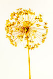 Allium κεφάλι σπόρου Στοκ φωτογραφία με δικαίωμα ελεύθερης χρήσης