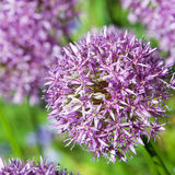 Allium κρεμμυδιών ζεύγος Στοκ Εικόνες
