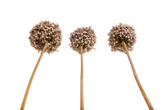 Allium - ξηρό καφετί διακοσμητικό σκόρδο λουλουδιών Στοκ Εικόνα