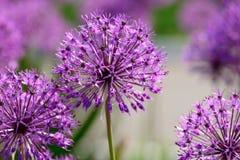 Allium λουλούδια Στοκ εικόνα με δικαίωμα ελεύθερης χρήσης