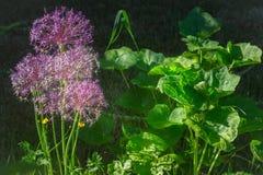 Allium Allium πορφυρά λουλούδια cristophii Στοκ Εικόνες