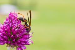 Allium τυμπανόξυλων άνθιση και σφήκα λουλουδιών Στοκ φωτογραφία με δικαίωμα ελεύθερης χρήσης