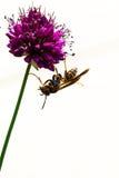 Allium τυμπανόξυλων άνθιση και σφήκα λουλουδιών Στοκ Φωτογραφία