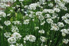 Allium φρέσκων κρεμμυδιών σκόρδου tuberosum και μέλισσες Στοκ Φωτογραφία