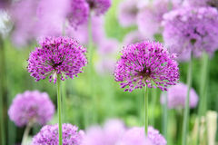 Allium Photographie stock