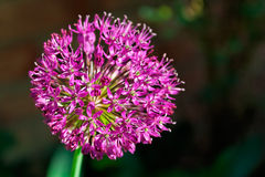 Allium. Closeup of an allium flower head. Shallow depth of field royalty free stock photos