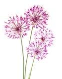 Allium Fotografia Stock Libera da Diritti