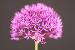 Allium Stock Image