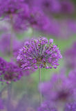 Allium Stock Photo