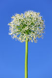 Allium Fotografie Stock