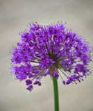 Allium Photo stock