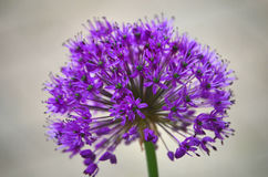 Allium Royaltyfria Bilder