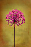 Allium Photos stock
