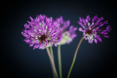 Allium Immagine Stock