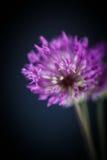 Allium Fotografie Stock Libere da Diritti