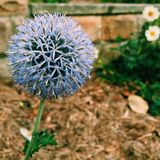 Allium Obrazy Royalty Free
