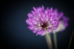 Allium Immagini Stock Libere da Diritti