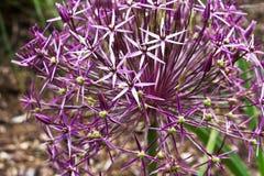 Allium Immagini Stock