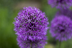 Allium Photographie stock libre de droits