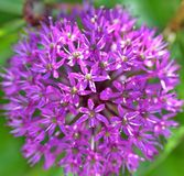 Allium images stock