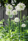 Allium Royalty-vrije Stock Foto