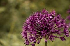 Allium Fotografía de archivo