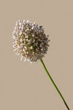Allium Fotografia de Stock Royalty Free