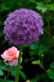 Allium Fotografia Stock