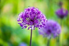 Allium Fotografie Stock