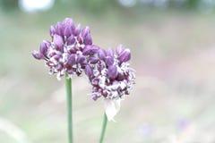 Allium Imagem de Stock