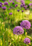 Allium abstract Stock Image