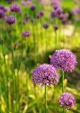 Allium abstract Stock Image