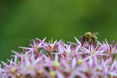 Allium aflatunense Stock Photography