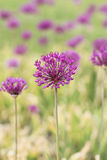 Allium aflatunense Royalty-vrije Stock Foto